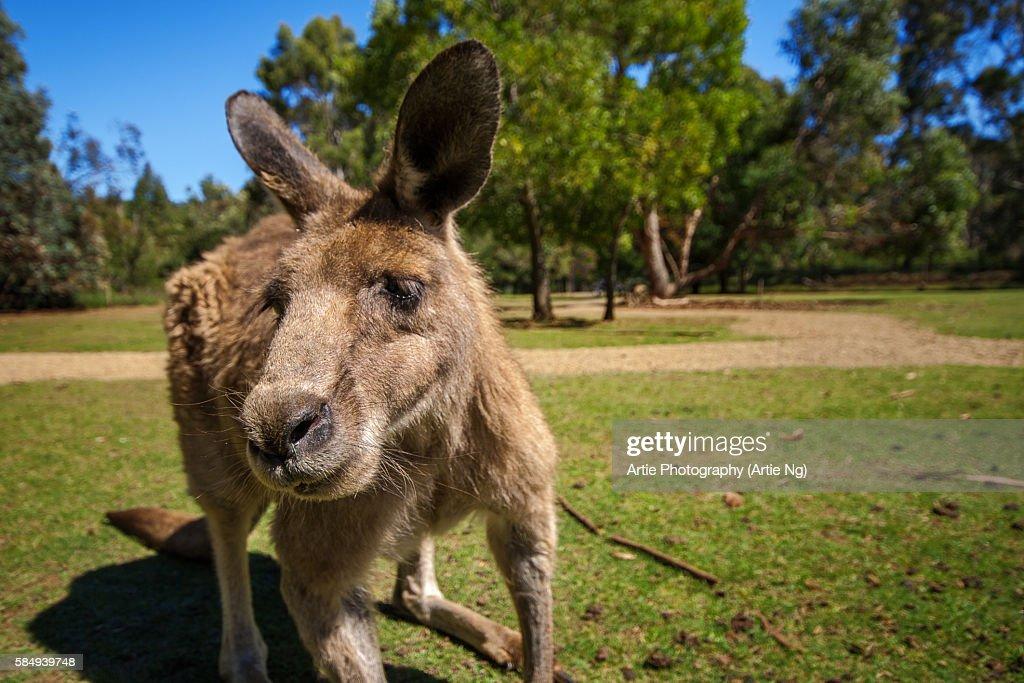 A Close Up Portrait of a Tasmanian Forester (Eastern Grey) Kangaroo, Tasmania, Australia