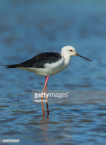 Close up portrait of adult Black-winged Stilt : Stock Photo
