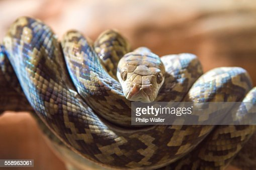 Close up portrait of brown snake coiled on tree branch, Australia