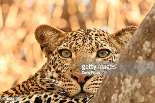 Close up portrait of female leopard (Panthera pardus), Selous National Park, Tanzania