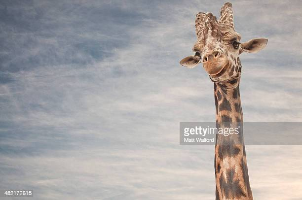 Close up portrait of giraffe
