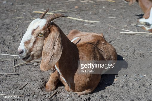 Close up portrait of goat laying on a field : Stock Photo