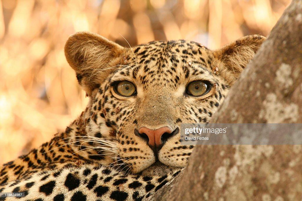Close up portrait of leopard, Selous National Park, Tanzania, Africa : Stock Photo