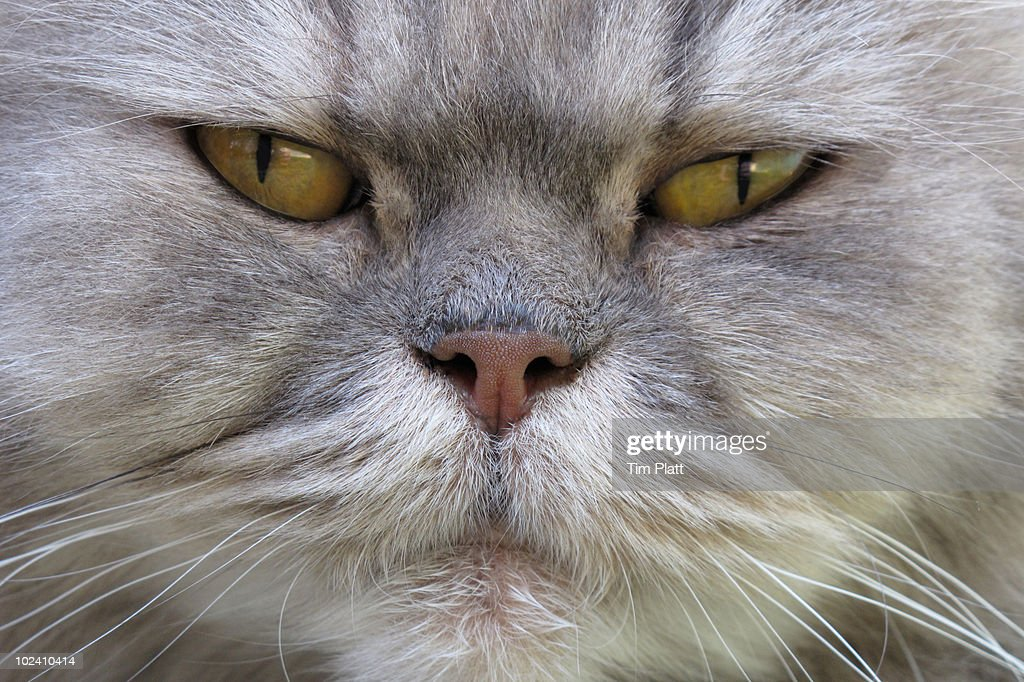 Close up portrait of long haired Persian cat. : Stock Photo