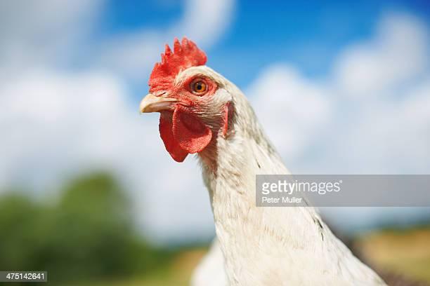 Close up portrait of white free range chicken in field