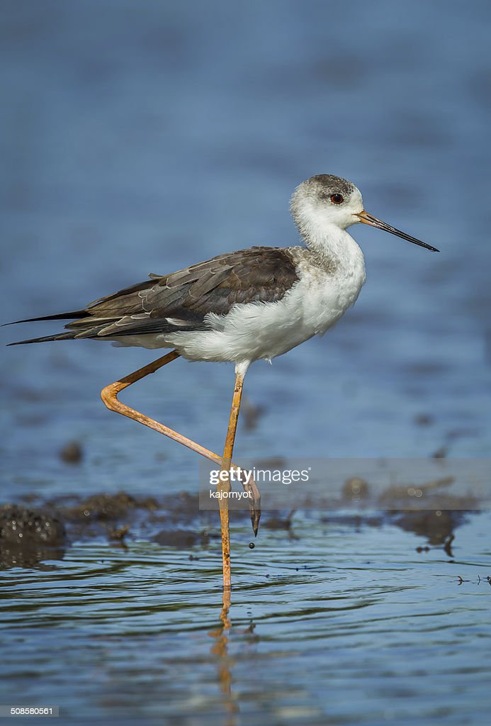 Close up portrait of young Black-winged Stilt : Stock Photo