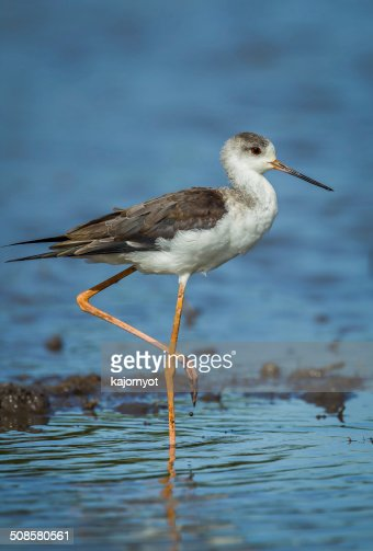 Close up portrait of young Black-winged Stilt : Stockfoto