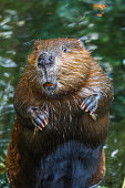 A close up portrait view of a beaver standing and smelling the air