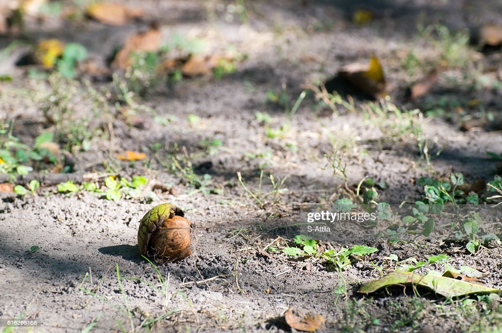 Close up shot of a walnut in it's green shell : Stock Photo