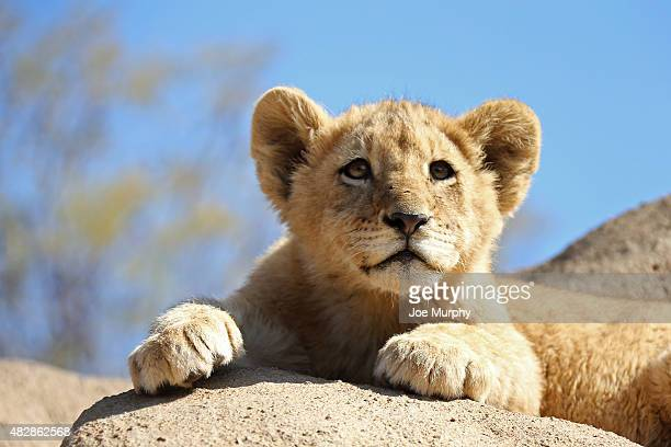 A close up shot of lions during an NBA visit to the South Africa Lion Park as part of Basketball Without Borders on August 2 2015 in Johannesburg...