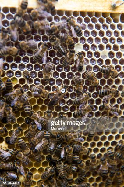 Close up shot of the bees and queen