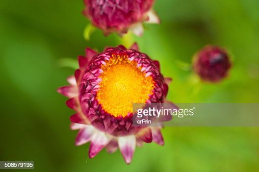 Close up strawflower on green background : Stock Photo
