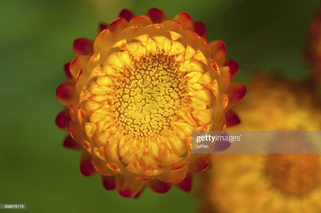 Close up strawflower : Stock Photo