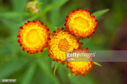 Close up strawflower : Stock Photo