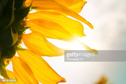 close up sunflower with sunlight : Stock Photo