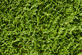 Close up texture of a beautiful green cultivated coniferous hedge fence.