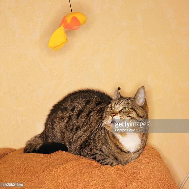 close up view of a cat watching a toy