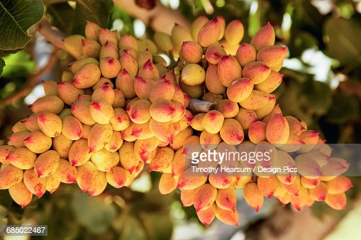 Close up view of a cluster of maturing pistachios in a grove in the fall near Wenden : Stock Photo