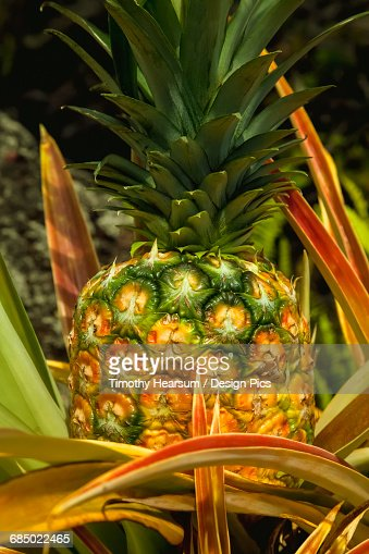 Close up view of a nearly ripe pineapple growing on the Hamakua Coast near Hilo : Stock Photo