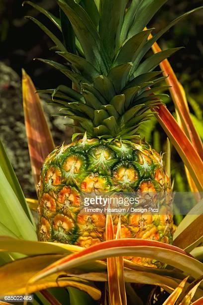Close up view of a nearly ripe pineapple growing on the Hamakua Coast near Hilo