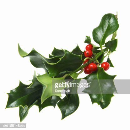 Close up view of a piece of holly : Stock Photo