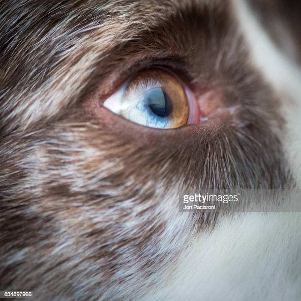 Close Up View of an Eye of an Australian Shepherd