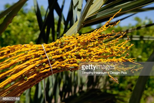 Close up view of developing young dates on a date farm in the Imperial Valley : Stock Photo