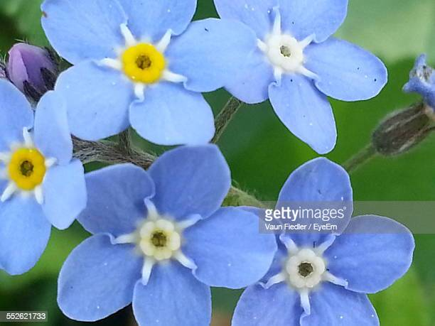 Close Up View Of Forget-Me-Not Flowers
