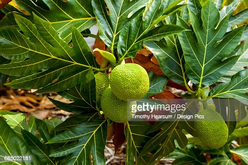 Close up view of four breadfruit developing on a tree in the North Kohala District of the Big Island : Stock Photo