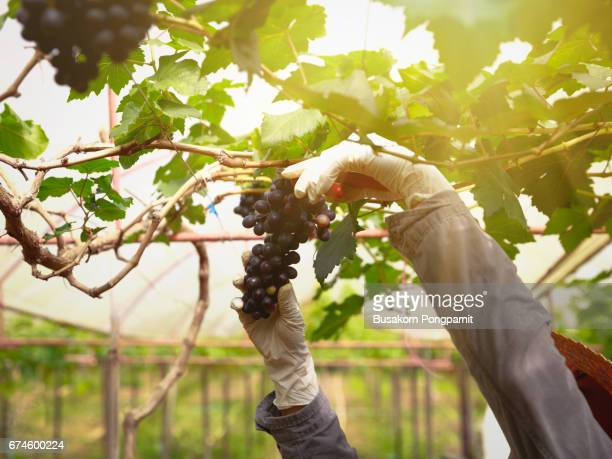 Close up view of fresh red wine grape, Bunch of grapes on a vine in the sunshine, grape harvest close up hands