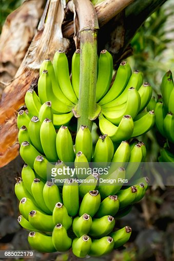 Close up view of large stalk of developing bananas on a tree in the South Kona District of the Big Island : Stock Photo