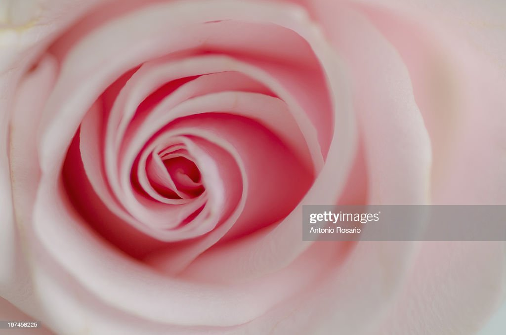 Close up view of pink rose : Stock Photo