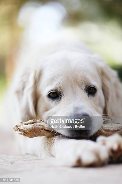 Close Up View Of Puppy Holding Toy Bone