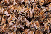 View of several bees inside the hive. Bees take care of larva. Photo taken in France