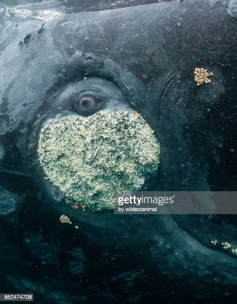 Close up view of the eye of a southern right whale resting on it's back at the water's surface, Puerto Piramides, Argentina.