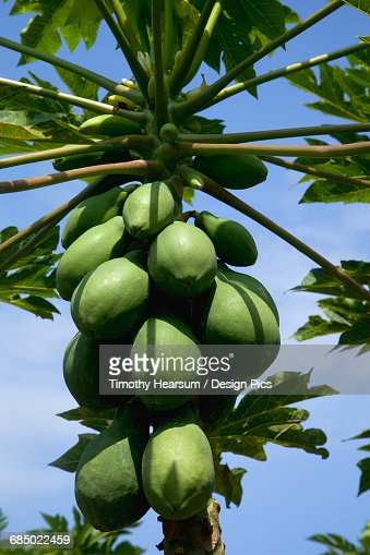 Close up view of various size papaya developing on a tree in the Puna District of the Big Island : Stock Photo