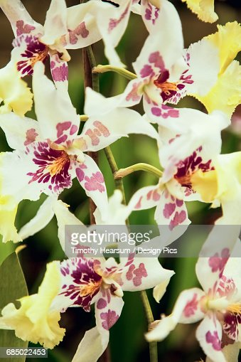 Close up view of yellow spotted blossoms as photographed in an orchid greenhouse : Stock Photo