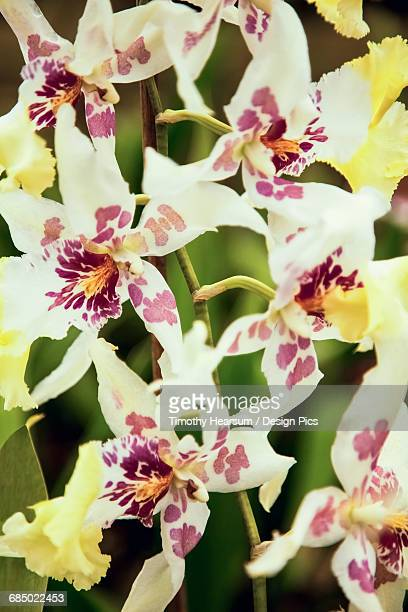 Close up view of yellow spotted blossoms as photographed in an orchid greenhouse