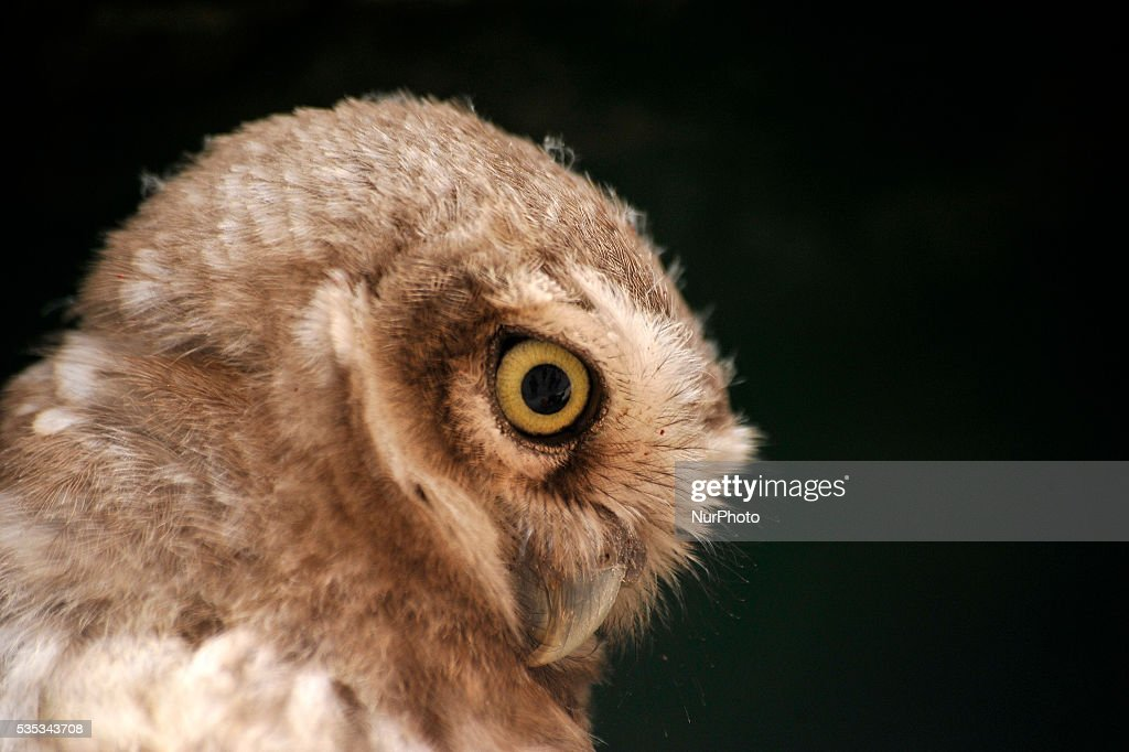 A close up view of young owl sits in the cable line wire at Kirtipur, Kathmandu, Nepal on May 29, 2016. Nepal is home to a total of 21 species of owl and four species among them are categorised as endangered. However, none of the species of owl found in Nepal are prioritised in the IUCN Red List 2015. Some species of owl are traded for as much as Rs 300,000 and beyond.