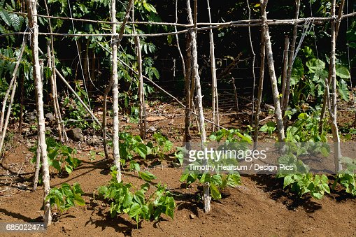 Close up view of young pole bean plants growing on a demonstration farm in the North Kona District of the Big Island, the shiny leaves of coffee trees are in the background : Stock Photo
