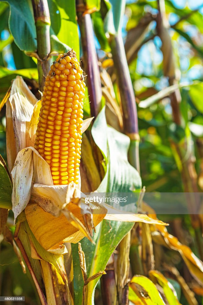 close up view on ear of maize corn : Stock Photo