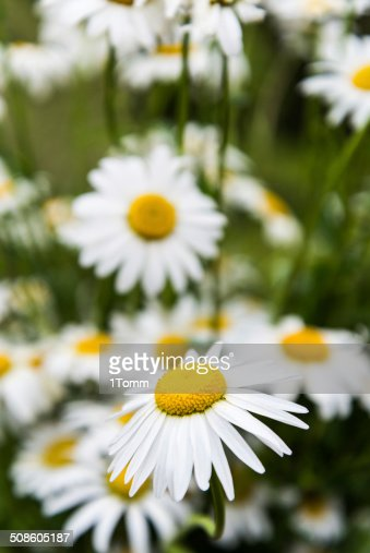 Close view of beautiful white daisies. : Stock Photo