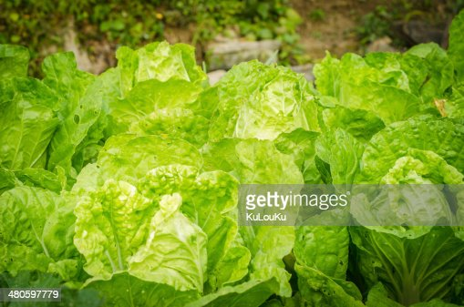 close view of green cabbage : Stock Photo