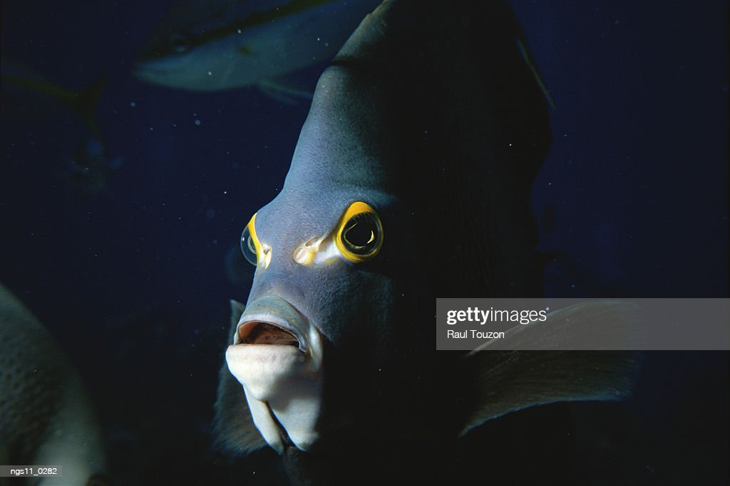 A close view of the face of an angelfish. : Stock Photo