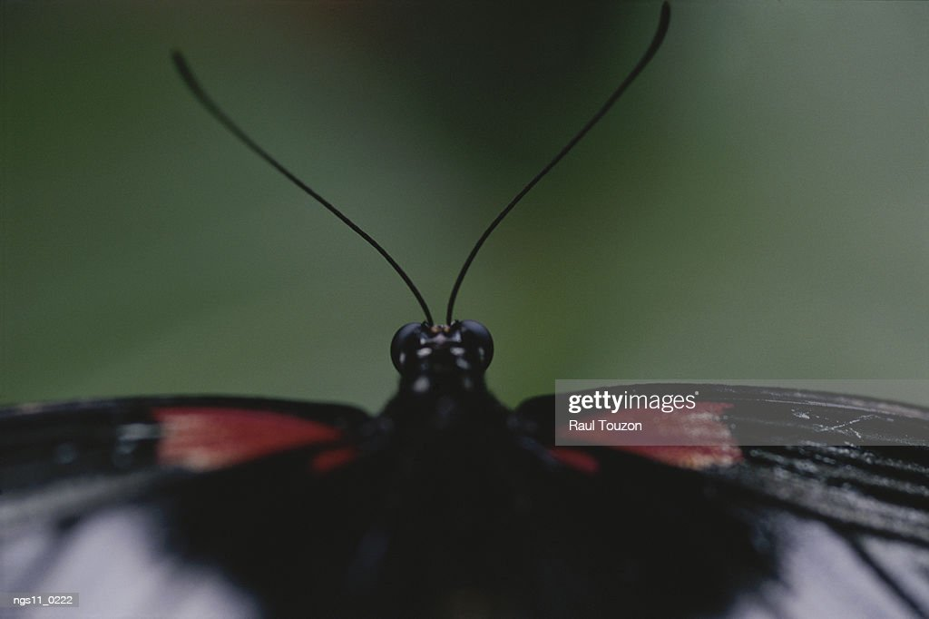 A close view of the head and antennae of a butterfly. : Stock Photo