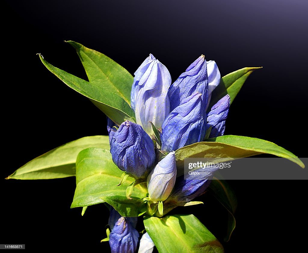 Closed bottle gentian