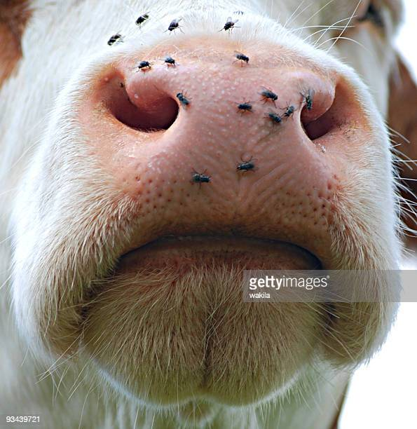 closed mouth of a cow with flies