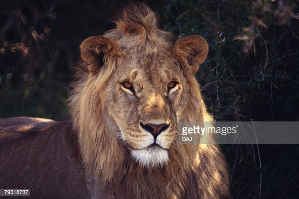 Closed Up Image of a Lion Head, Front View