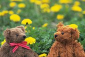 Closed Up Image of Two Teddy Bears Sitting in a Yellow Flower Field, Front View, Differential Focus