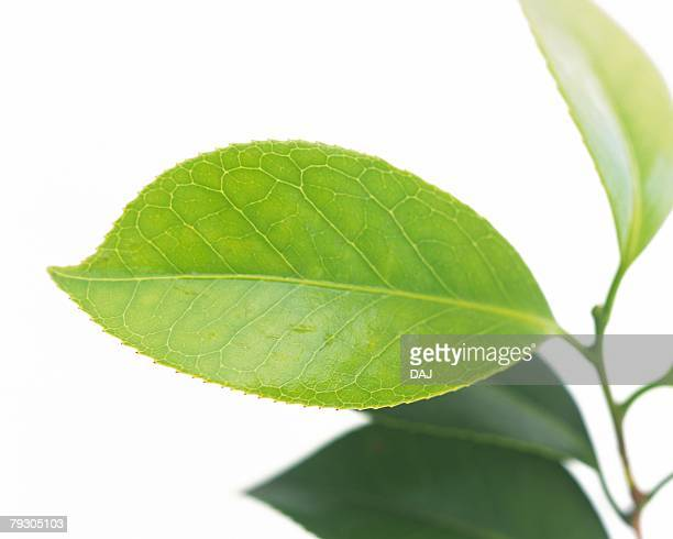 Closed Up of Leaf on the Branch, Close Up, Differential Focus, In Focus, Out Focus